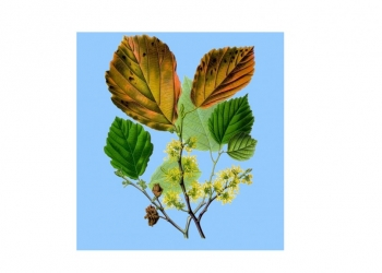 WITCH HAZEL WATER - Hamamelis virginiana water