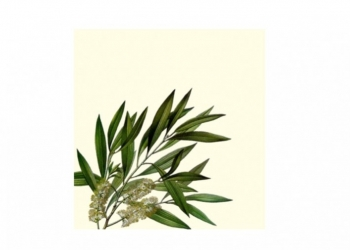 What is tea tree essential oil?