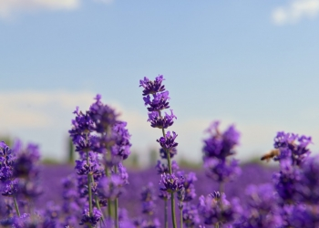 What are the benefits of lavender essential oil ?